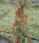 Chinesischer Bocksdorn 60-80cm - Lycium chinense