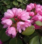 Glockenblütige Wild Rhododendron 30-40cm - Rhododendron orbiculare