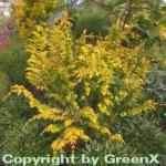 Hinoki Zypresse Fernspray Gold 15-20cm - Chamaecyparis obtusa