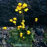 Zwerg Pantoffelblume - Calceolaria biflora