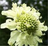 Alpen Schuppenkopf - Cephalaria alpina
