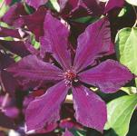 Waldrebe Honora 60-80cm - Clematis