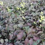 Schwarzmeer Elfenblume - Epimedium pinnatum