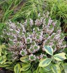 10x Cornwallheide Kervernensis Alba - Erica vagans