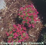 Blaukissen Rubinfeuer - Aubrieta