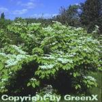 Etagen Schneeball Mariesii 30-40cm - Viburnum plicatum