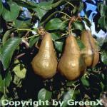 Birne Bosk Flaschenbirne 60-80cm - große feinwürzige Früchte