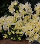Zwerg Wild Alpenrose Ginny Gee 30-40cm - Rhododendron keiskei