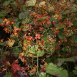 Elfenblume Warley - Epimedium warleyense