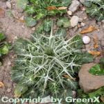 Buntlaubige Edeldistel - Eryngium variifolium