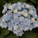 Bauernhortensie Forever 30-40cm - Hydrangea macrophylla