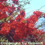 Zierquitte Fire Dance 40-60cm - Chaenomeles Fire Dance