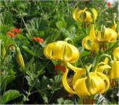 Lilie Citronella - Lilium lancifolium