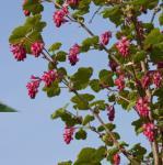 Blut Johannisbeere Red Bross 60-80cm - Ribes sanguineum