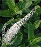 Polsterveronika Alba - Veronica spicata