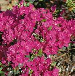 Japanische Azalee Purpurtraum 30-40cm - Rhododendron obtusum - Zwerg Alpenrose