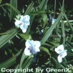 Dreimasterblumen Osprey - Tradescantia andersoniana