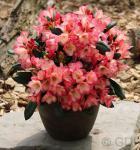 Rhododendron Barbarella 20-25cm - Rhododendron yakushimanum