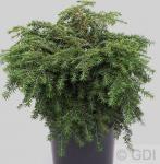 Kissen-Hemlock Jeddeloh 20-25cm - Tsuga canadensis