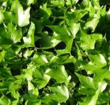 10x Efeu Green Ripple 10-15cm - Hedera helix