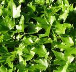 Efeu Green Ripple 30-40cm - Hedera helix