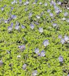 Wiesen Storchschnabel Spinners - Geranium pratense