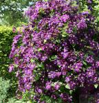 Robuste Waldrebe Etoile Violette 40-60cm - Clematis viticella