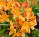 Azalee Annabella 25-30cm - Rhododendron luteum - Alpenose