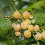 Himbeere Golden Queen - Rubus idaeus