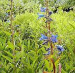 verschiedenblättriger Bartfaden Züriblau - Penstemon heterophyllus