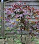 Kanadischer Judasbaum Ruby Falls 60-80cm - Cercis canadensis