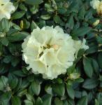 Rhododendron Centennial Gold 25-30cm - Alpenrose