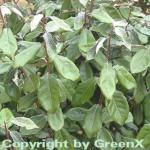 Wintergrüne Ölweide 125-150cm - Elaeagnus ebbingei