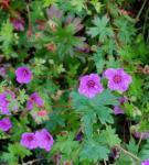 Storchenschnabel Dilys - Geranium sanguineum