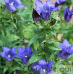 Japanischer Herbstenzian Blue Power - Gentiana scabra