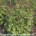 Sterndolde Claret - Astrantia major