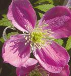 Berg Waldrebe Pink Perfection 40-60cm - Clematis montana