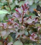 Chinesische Kräuselmyrte Rhapsody in Pink 60-80cm - Lagerstroemia indica