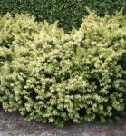 Breitwachsende Goldeibe Golden Nugget 30-40cm - Taxus baccata