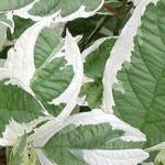 Gelber Hartriegel White Gold 80-100cm - Cornus stolonifera