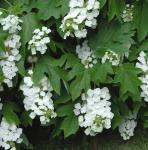 Eichenblättrige Hortensie Snowflake 30-40cm - Hydrangea quercifolia