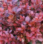 Beberitze Fire Ball® 15-20cm - Berberis thunbergii