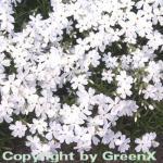 Teppich Phlox White Delight - Phlox subulata