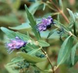 Bartblume Summer Sorbet 30-40cm - Caryopteris clandonensis