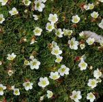 Moossteinbrech Schneeteppich - Saxifraga Arendsii