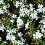Niedrige Flammenblume Calvides White - Phlox subulata