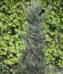 Blaureif Wacholder 100-125cm - Juniperus virginiana