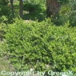 Buchsbaum Faulkner 30-40cm - Buxus microphylla