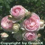 Romantikrose Eden Rose® 30-60cm