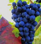 Weinrebe Muscat bleu 80-100cm - Vitis